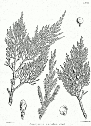Juniperus excelsa - Image: Juniperus excelsa ssp Bra 68