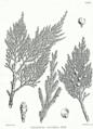 Juniperus excelsa ssp Bra68.png