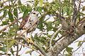 Juvenile Grey-lined Hawk.jpg