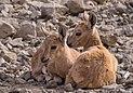 Juvenile Nubian ibex (50822).jpg