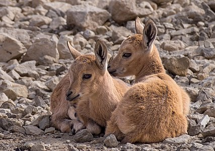 Two juvenile Nubian ibex kids in Mitzpe Ramon, Israel