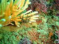 Juvenile basket star at Rheeder's Reef P2277178.JPG