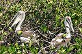 Juvenile pelican.JPG