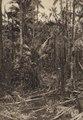 KITLV - 88316 - Kleingrothe, C.J. - Medan - Forest at plantation Loeboe Dalam of the Deli Company in Deli - 1905.tif