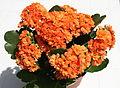 Kalanchoe blossfeldiana (forme horticole à fleurs doubles) - 2.jpg
