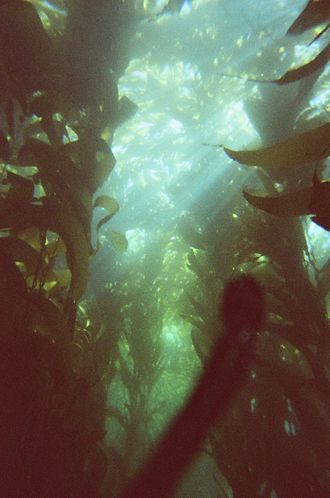 Kelp forest - A kelp forest off of the coast of Anacapa Island, California