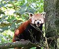 Kleiner Panda Tierpark Hellabrunn-5.jpg