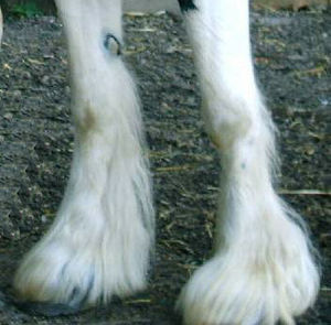 Fetlock - detail of feather or feathering that covers the fetlock and hoof, seen on many draft breeds