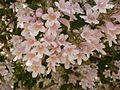 Kolkwitzia amabilis in Jardin des Plantes of Paris 04.jpg