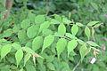 Kolkwitzia amabilis leaves.jpg