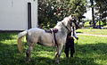 Konj sivac u Varni.jpg