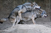 Photograph of a pair of mating wolves