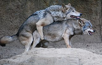 Wolf - Gray wolves mating