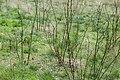 Korina 2017-04-02 Robinia pseudoacacia 2.jpg