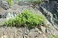 Korina 2017-04-09 Syringa vulgaris.jpg