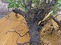 Korina 2017-11-04 Mahonia aquifolium 2.jpg