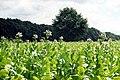 Kröppelshagen-Fahrendorf, tobacco field.jpg