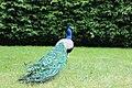 Kratochvile peacock - panoramio (1).jpg
