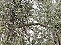 Kurrajong and mistletoe IMG 20190609 135742.jpg