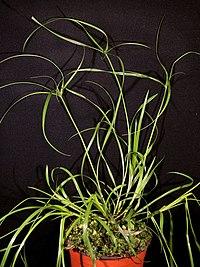 Kyllinga polyphylla Willd. ex Kunth (AM AK302077-1).jpg