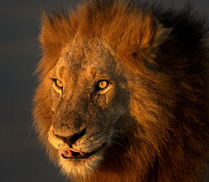 Wild lion in Kruger National Park, South Africa