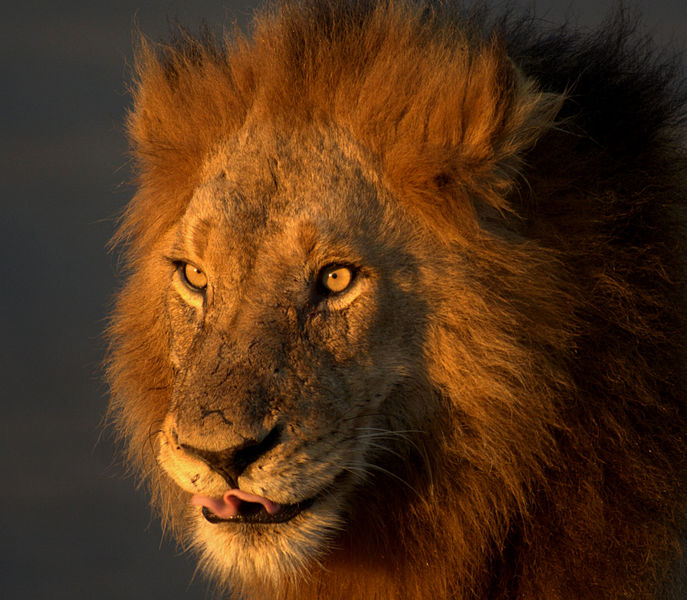 File:Löwe im Kruger National Park.jpg