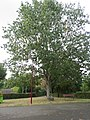 L1363 - Savigny-en-Sancerre - L'arbre du bicentenaire.jpg