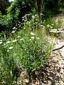 LEUCANTHEMUM VULGARE - SANT JUST - IB-700 (Margarida).JPG