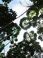 Ladang Singkong, Gurung Kempadik, Sintang, Kalimantan Barat.jpg