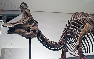 Lambeosaurus - Mounted L. lambei skeleton, Royal Ontario Museum