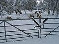 Lambs, Anagach - geograph.org.uk - 1158685.jpg