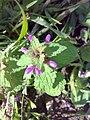 Lamium purpureum 08.jpg