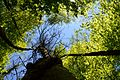 Landschaftsschutzgebiet Gütersloh - Isselhorst - Wald an der Lutter - Blick nach oben (10).jpg