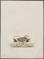 Larus crassirostris - 1820-1860 - Print - Iconographia Zoologica - Special Collections University of Amsterdam - UBA01 IZ17900250.tif