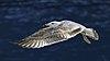 Larus michahellis juvenile in flight, Sète04.jpg