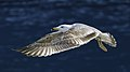 Larus michahellis juvenile in flight, Sète04.jpg