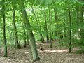 Las Gdański grąd.jpg