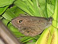 Lasiommata maera - Large wall brown - Бархатка (40269282625).jpg