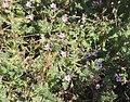 Lauwersoog - Duinreigersbek (Erodium cicutarium subsp. dunense).jpg