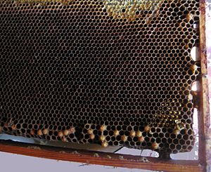 Laying worker bee - Laying worker bee honeycomb. See broad pattern and drone brood in worker cells (caps protruding). This honeycomb is taken from the dying family without the queen.