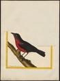 Leïstes militaris - 1700-1880 - Print - Iconographia Zoologica - Special Collections University of Amsterdam - UBA01 IZ15800261.tif