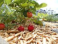 Le Jardin des petits fruits - les Fraises.jpg