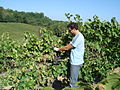 Le Torri - harvest Trebbiano grapes in Tuscany.jpg