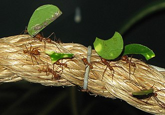Leafcutter ant - Leafcutter ant Atta cephalotes