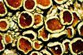 Lecanora pulicaris-3.jpg