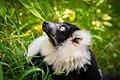 Lemur (26245173569).jpg