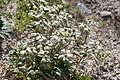Leontopodium shinanense 05.jpg