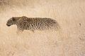 Leopard (3688072554).jpg