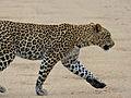 Leopard (Panthera pardus) crossing the road (12906998775).jpg