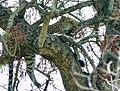 Leopard (Panthera pardus) female resting in a tree ... (51216471182).jpg